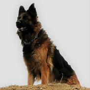 Schæferhund Vestegnen's Ciba
