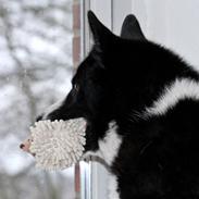 Karelsk bjørnehund Bjørnehusets Maika