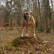 Dogo canario Crystal Fuerza Bull (Mina)