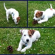 Jack russell terrier Daisy Blossom's GoldHeart/ Milo