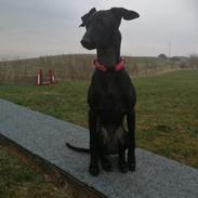 Italiensk mynde kennel all stars Diva *Althea*