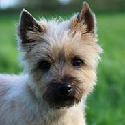 Cairn terrier Belle