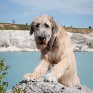"""Irsk ulvehund Clonakilty av Black Glacier  aka """"Marvin"""""""
