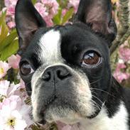 Boston terrier Naddie