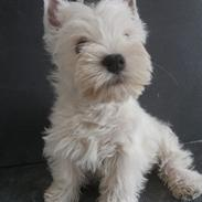 West highland white terrier Murphy
