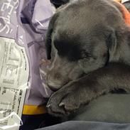 Labrador retriever Pinnmoors Perry Tequila