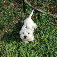 West highland white terrier Hanks