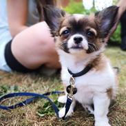 Chihuahua Zenvo's Exuberant Excalibur (Milo) RIP