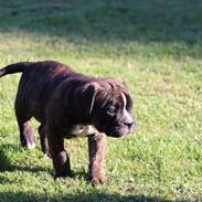 Leavitt Bulldog Buddha