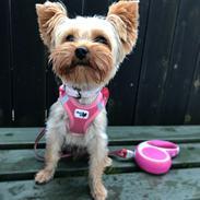 Yorkshire terrier Miss Jixy