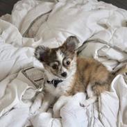 Chihuahua Milo
