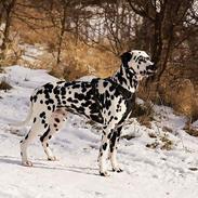 Dalmatiner Dexter (Tre Falke's Eiko)
