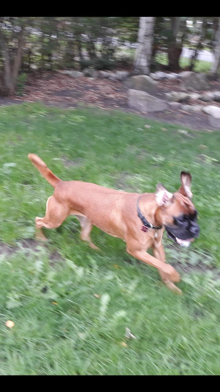 Boxer Karla billede 4