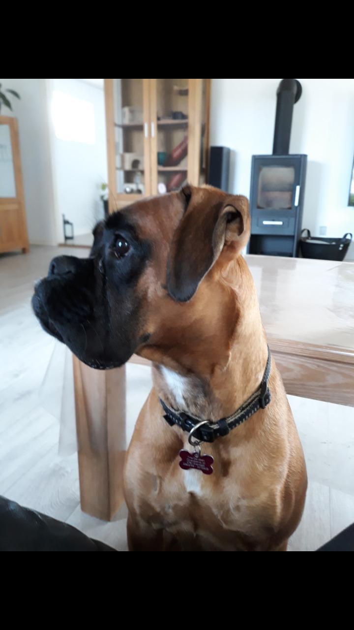 Boxer Karla billede 15
