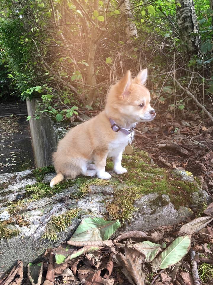 Chihuahua Emmy - Hun har altid været en lille solstråle =) billede 2