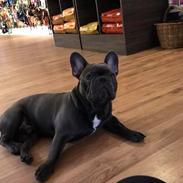 Fransk bulldog Piilou