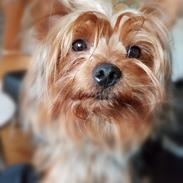 Yorkshire terrier Hugo Boss