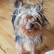 Yorkshire terrier Hugo Boss