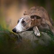 Whippet Silas (Tanalorn Kelvin Knock Out)