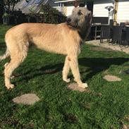 """Irsk ulvehund Clonakilty av Black Glacier  aka """"Marvin"""" R.I.P."""