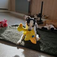 Dansk svensk gaardhund Milo Min Soulmate
