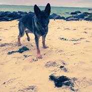 Schæferhund Gina (Haubroe Aud)