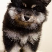 Finsk lapphund Lapinkaunis Groot *Floy*