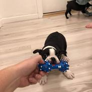 Boston terrier House Of Bounce What a catch aka Morris