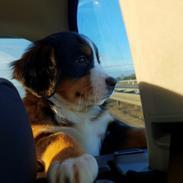 Berner sennenhund Toffie