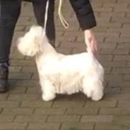 West highland white terrier la gry,s liv