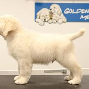 Golden retriever Manhattan v.d. Corner Brook