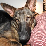 Schæferhund Hapia Cisco * Carlo*