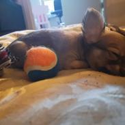 Chihuahua Baloo
