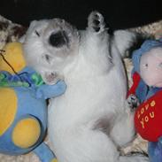 West highland white terrier Diva