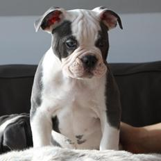 Olde english bulldogge Blåbær
