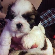 Shih tzu Holly (Wood)