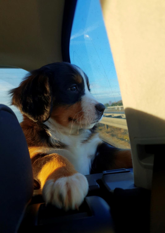 Berner sennenhund Toffie - Velkommen til Toffies profil håber i vil ligge en bedømmelse :) billede 1