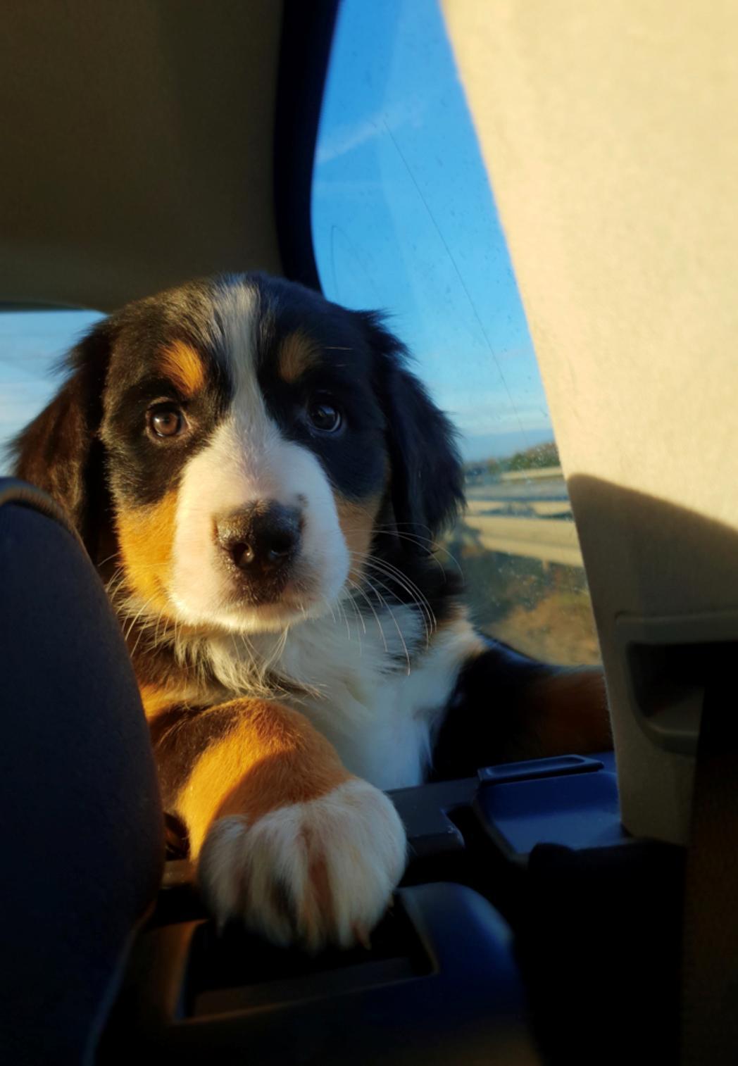 Berner sennenhund Toffie - På vej hjem  billede 2