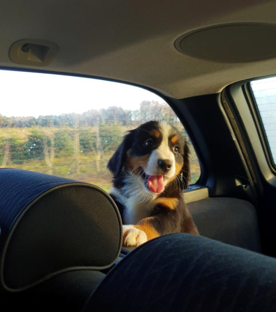 Berner sennenhund Toffie billede 3