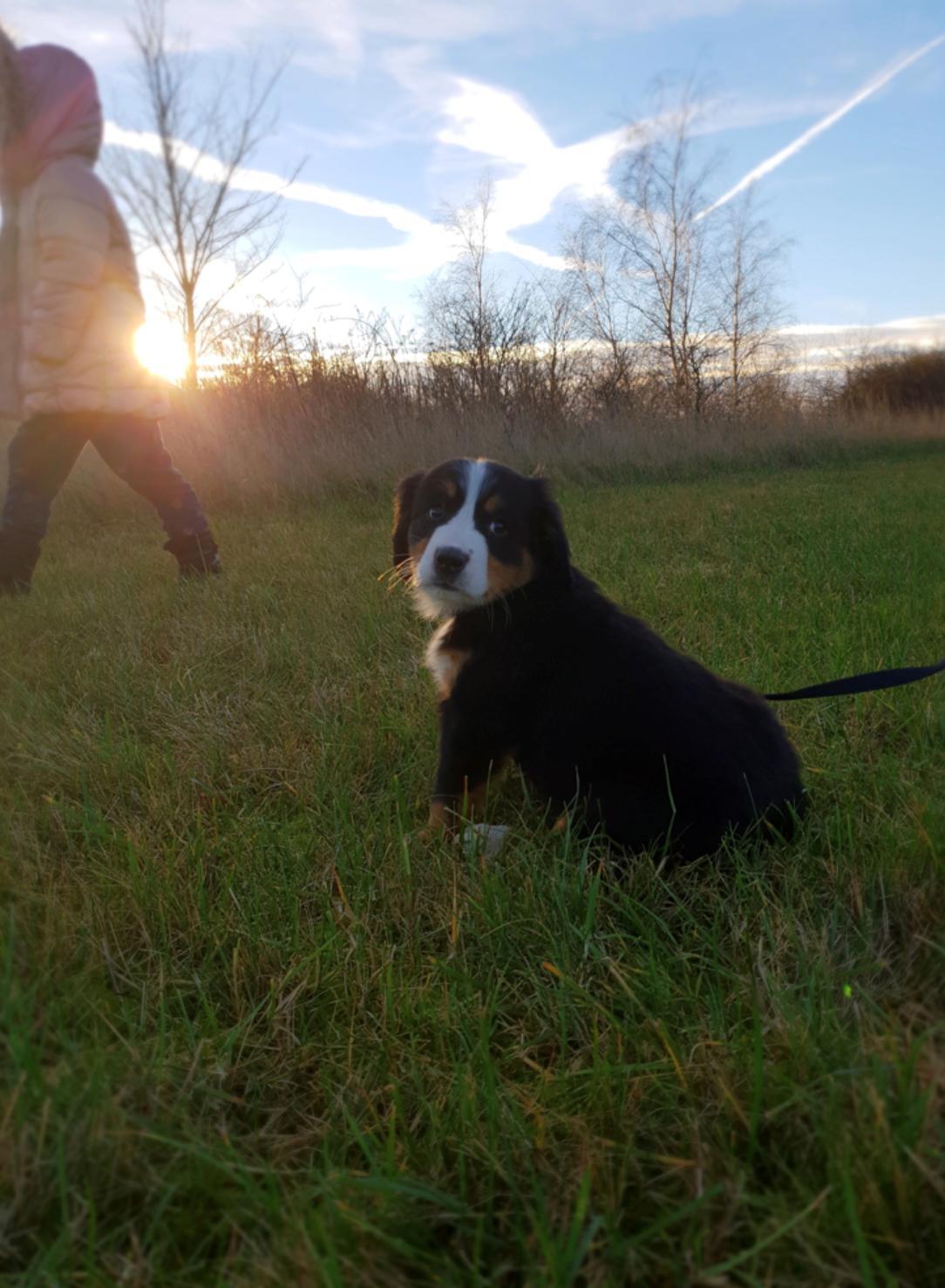 Berner sennenhund Toffie billede 6