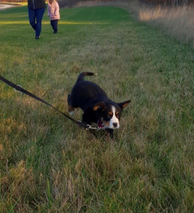 Berner sennenhund Toffie billede 5