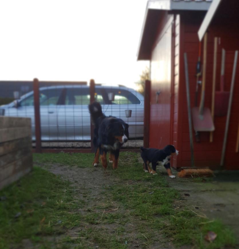 Berner sennenhund Toffie - Første møde med min storebror billede 7