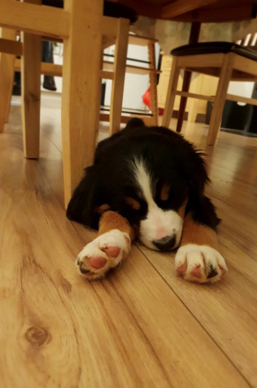 Berner sennenhund Toffie - Er blevet træt efter en lang dag hos min nye familie billede 14