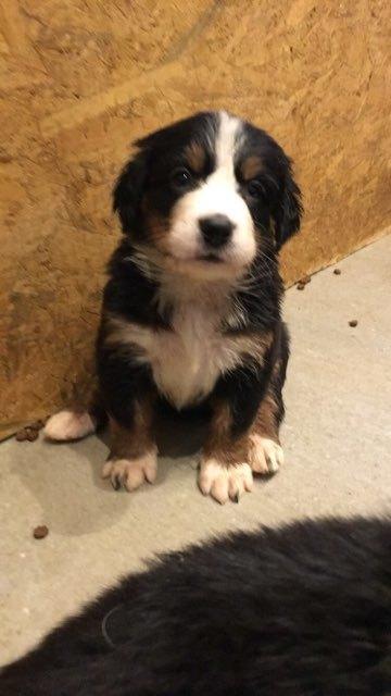 Berner sennenhund Toffie - billede opdrætter har sendt billede 19