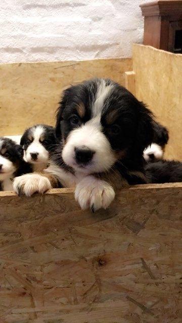 Berner sennenhund Toffie - billede opdrætter har sendt  billede 21