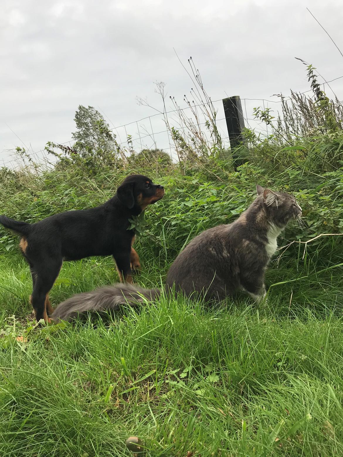 Rottweiler Cor-Canem's Fauna (Hanne)  billede 31