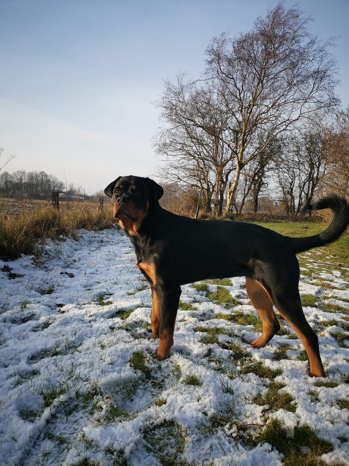 Rottweiler Cor-Canem's Fauna (Hanne)  billede 40