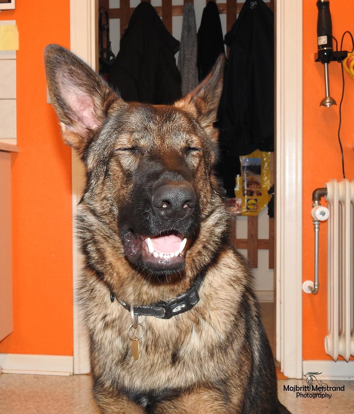 Schæferhund Hapia Cisco * Carlo* billede 2