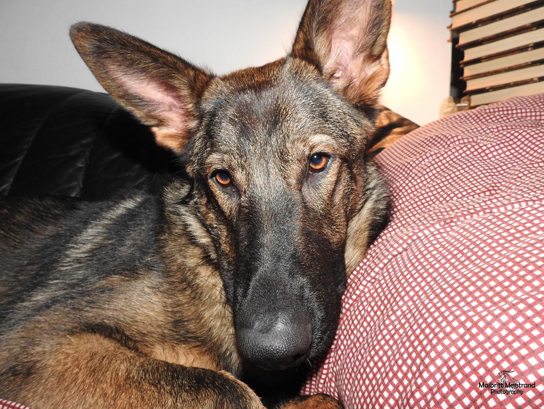 Schæferhund Hapia Cisco * Carlo* billede 3
