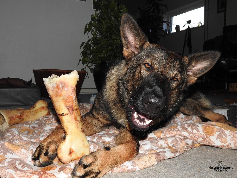 Schæferhund Hapia Cisco * Carlo* billede 1